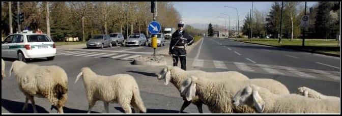 Pecore al pascolo per tagliare l'erba in città