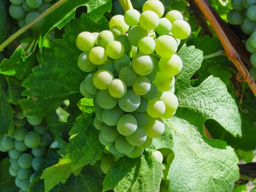 Roero Arneis: un vino per l'estate