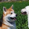 Akita e Labrador