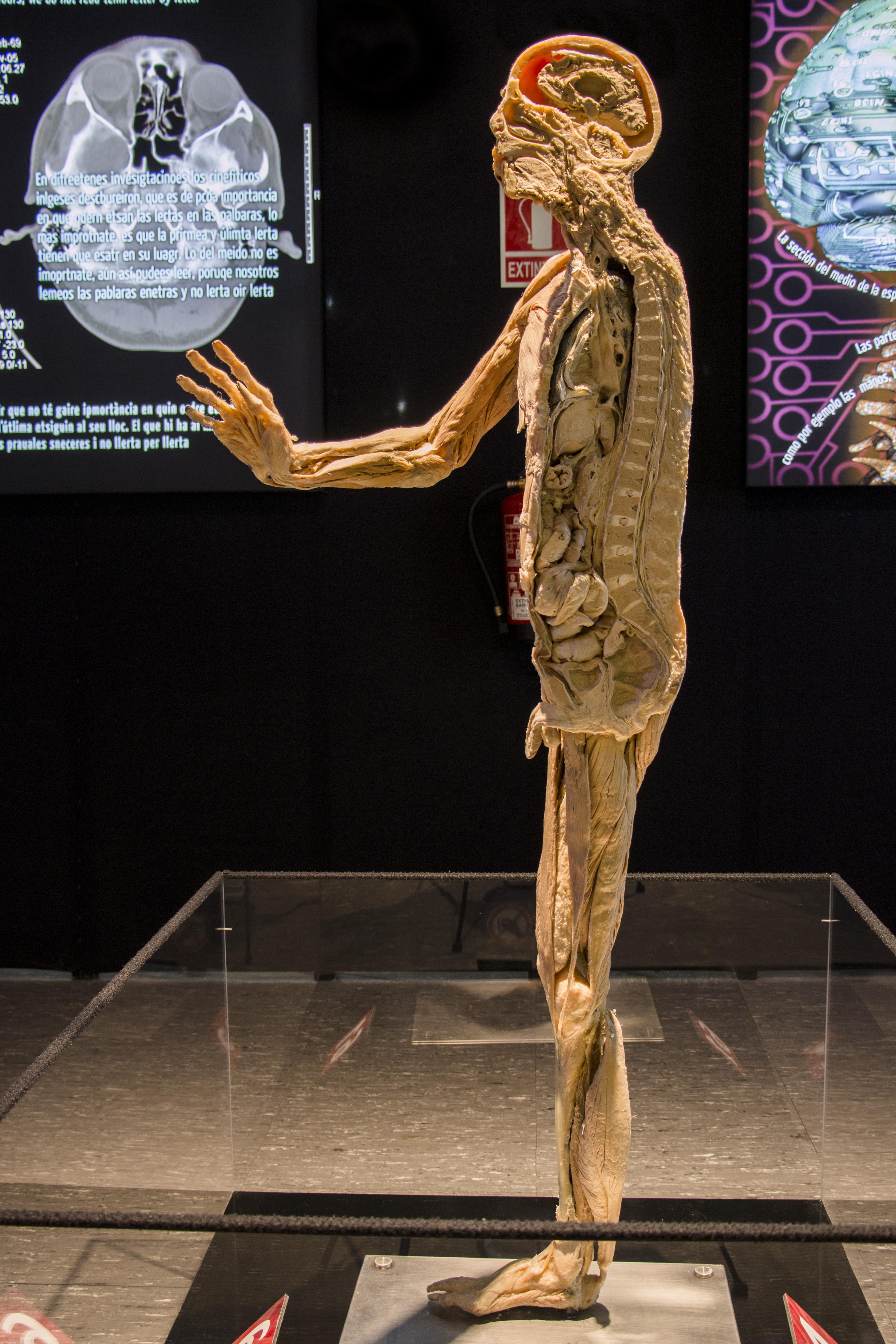 Human Bodies A Torino Una Mostra Per Esplorare Il Corpo Umano