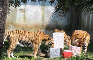 Il bioparco ZOOM Torino festeggia il nono compleanno delle sue tre tigri siberiane